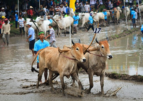 Bay Nui Cow racing in An Giang - Mekong delta trip